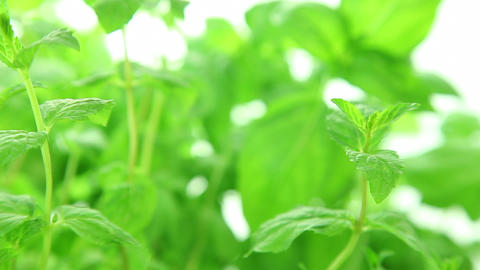 Fresh mint background, green mint leaves Footage