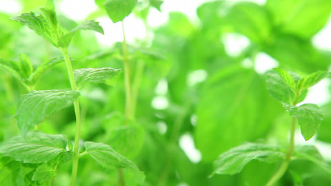 Fresh mint background, green mint leaves Stock Video Footage