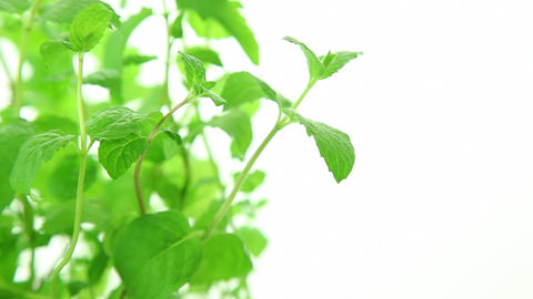 Fresh mint plant on white background Stock Video Footage