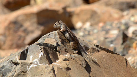 barbary ground squirrel watch around 11136 Stock Video Footage