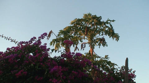 Papaya Tree Stock Video Footage