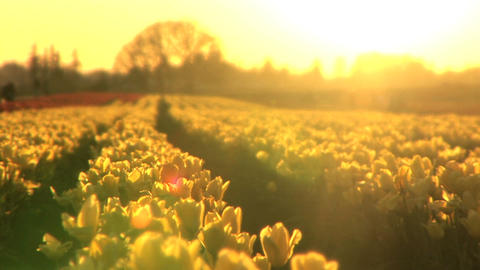 Sunset on a Tulip Field Stock Video Footage
