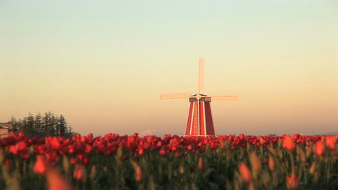 Sunset on Windmill in Tulip Field Footage