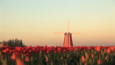 Sunset on Windmill in Tulip Field Footage