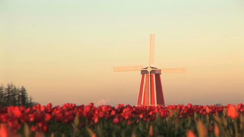 Sunset on Windmill in Tulip Field Stock Video Footage