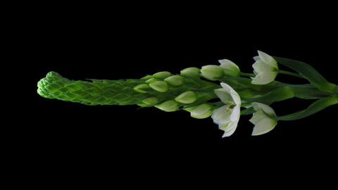 "Time-lapse of opening white ""Star-of-Bethlehem Stock Video Footage"