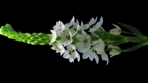 """Time-lapse of opening white """"Star-of-Bethlehem Stock Video Footage"""
