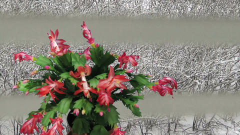 Time-lapse of growing and blooming pink Christmas Stock Video Footage
