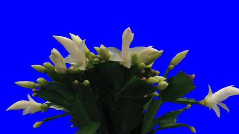 Time-lapse of growing and blooming white Christmas Stock Video Footage