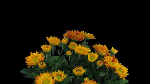 Time-lapse of opening orange chrysanthemum flower Stock Video Footage