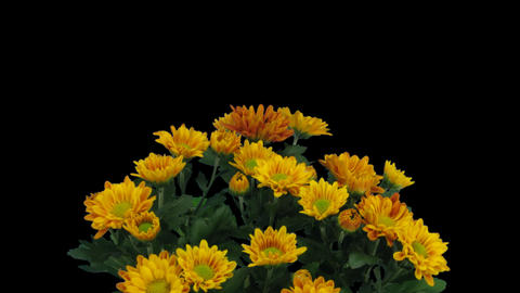 Time-lapse of opening orange chrysanthemum flower  Footage