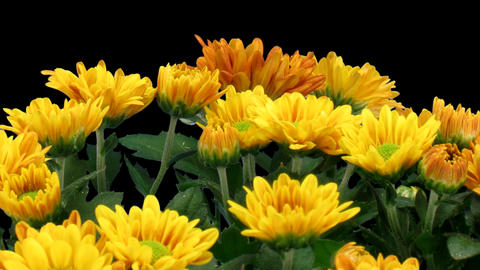 Time-lapse of opening orange chrysanthemum flower 画像