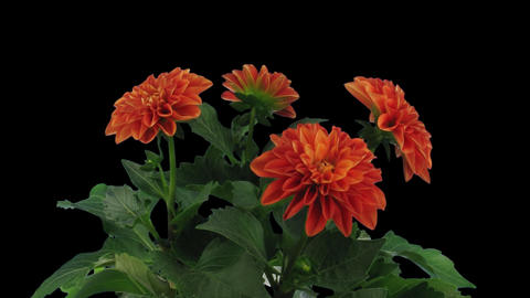 Time-lapse of blooming orange dahlia 1x1 Stock Video Footage