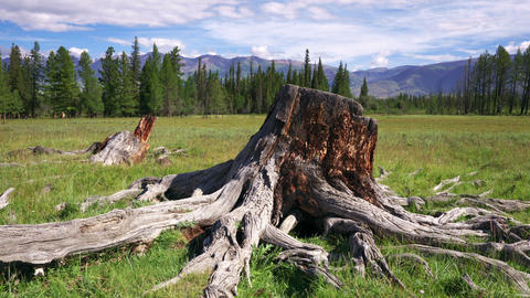 4K Tree Stump and roots Stock Video Footage