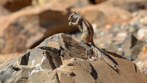 barbary ground squirrel eat and watch 11157 Stock Video Footage