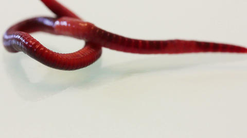 red worm macro Stock Video Footage