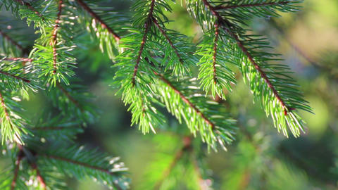 fir twigs close-up Stock Video Footage