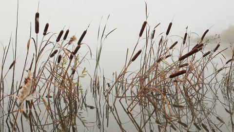 Lake In Mist - Stems Of Reeds Reflected In Water stock footage