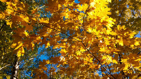 Beautiful Autumn Yellow Leaves - Dolly Shot stock footage