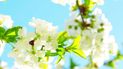 apricot flowers blooming in spring Footage