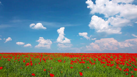 field of red poppies and cloudy sky Footage