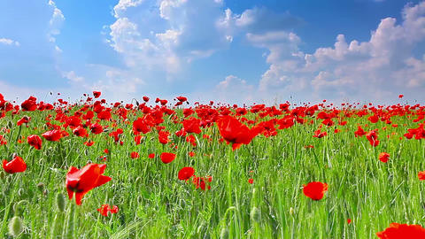 field of red poppies and cloudy sky Stock Video Footage