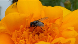 POLLINATION PROCESS (YELLOW FLOWER AND INSECTS--1B Stock Video Footage