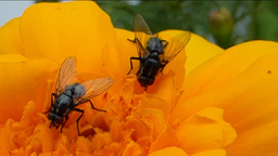 POLLINATION PROCESS (YELLOW FLOWER AND INSECTS--1B Footage