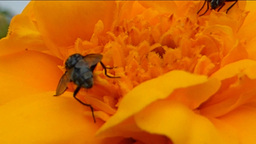YELLOW FLOWER AND INSECTS 1 D Footage