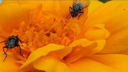 YELLOW FLOWER AND INSECTS 1 D Stock Video Footage