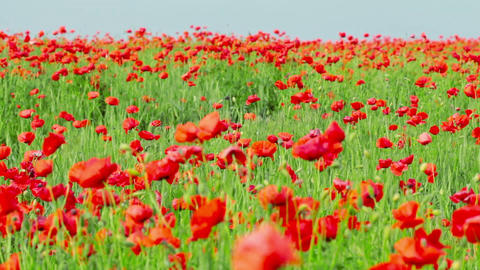 field of red poppies Footage