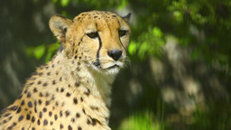 Cheetah Footage