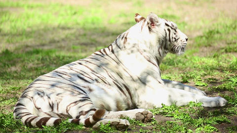 Tigress and her cub Stock Video Footage