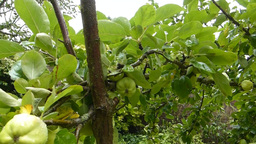 APPLE TREE WITH UNRIPE APPLES (APPLE TREE 1a) stock footage