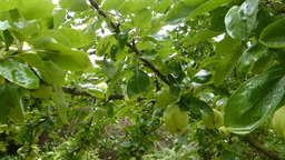 APPLE TREE WITH UNRIPE APPLES (APPLE TREE 1a) Stock Video Footage