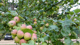 Apple trees with fruits Footage