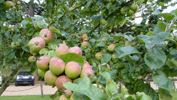 Apple trees with fruits Stock Video Footage