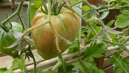 TOMATO PLANT IN OUTDOOR ENVIRONMENT Footage