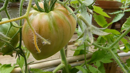 TOMATO PLANT IN OUTDOOR ENVIRONMENT Stock Video Footage
