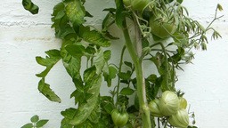TOMATO PLANT WITH UNRIPED TOMATOES AT OUTDOOR ENVI Stock Video Footage