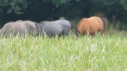 Grazing a herd of horses on grassland (horse 1b) Stock Video Footage