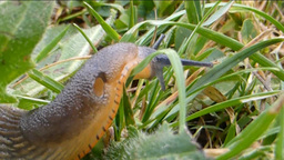 Close-up view of a slug crawling slowly and crossi Stock Video Footage