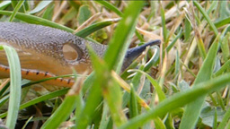 Slug crawling on grasses Footage