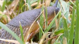 Slug crawling on grasses Stock Video Footage