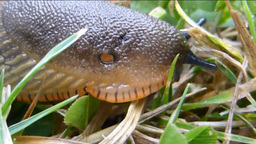 Slug crawling on grasses Stock Video Footage