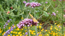 YELLOW BUTTERFLY BUSY POLLINATING A STALK OF FLOWE Stock Video Footage