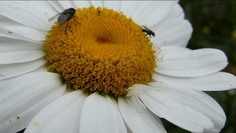 BEES POLLINATING A DAISY FLOWER Stock Video Footage