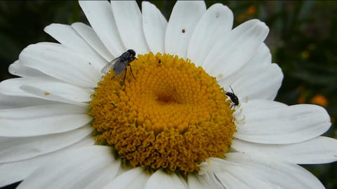 BEES POLLINATING A DAISY FLOWER Live Action
