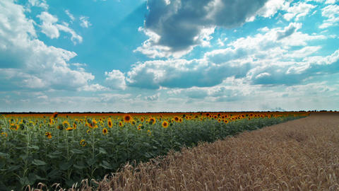 blooming sunflowers and wheat ears Stock Video Footage