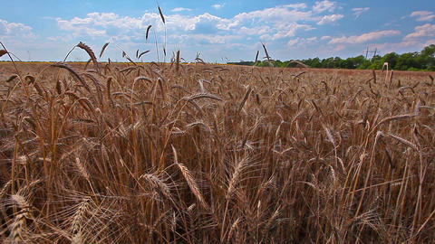 ears of wheat and cloudy sky Stock Video Footage